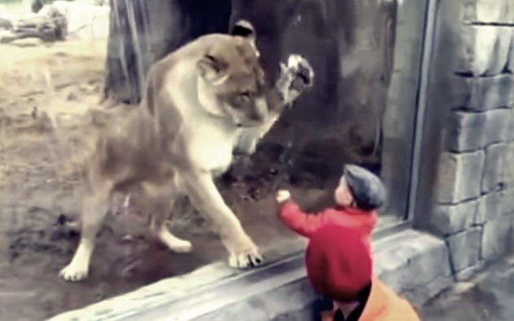 O leoaică ATACĂ UN COPIL, la Zoo! Ce s-a întâmplat TE VA ULUI