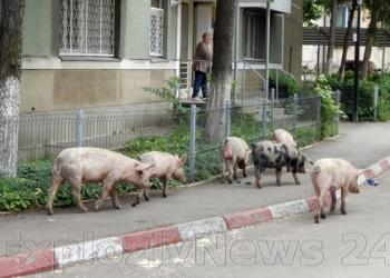 În Alexandria, porcii nu zboară, ci merg liberi.