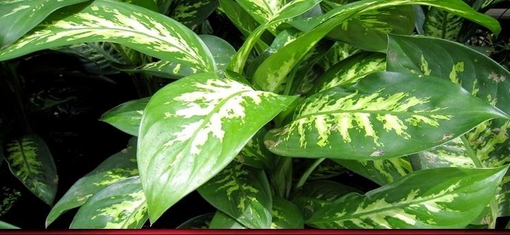 Numele plantei este Dieffenbachia