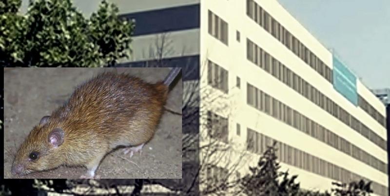 Un șobolan mic, într-un spital mare