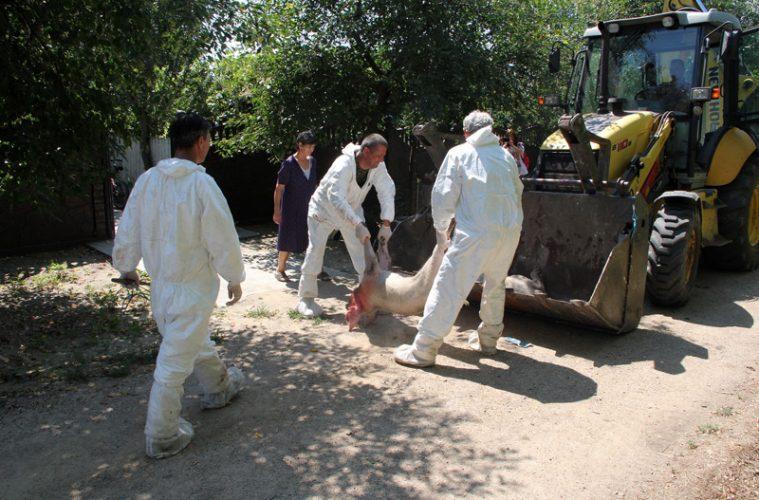 Pesta porcină ia amploare în Teleorman! Încă un caz de pestă porcină africană în satul Cucuieți