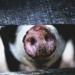 Un nou focar de pestă porcină, confirmat în Cervenia